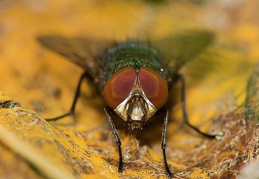 Staring fly by Jouko Mikkola