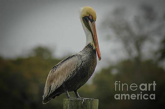 Dale Powell - Statuesque Pelican