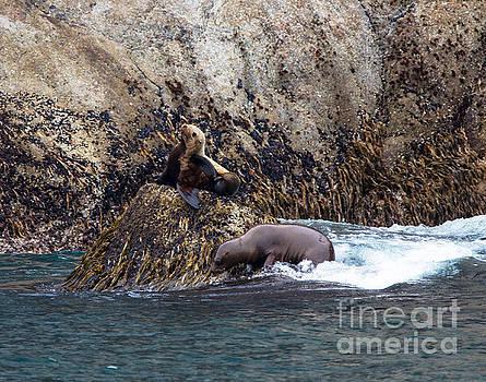 Stellar Seals by Robert Pilkington