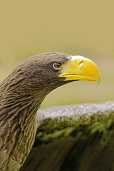 Steller's Sea Eagle - Haliaeetus pelagicus by Rod Johnson