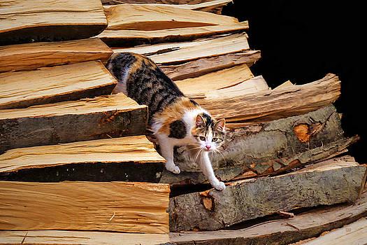 Stepping Down - Calico Cat on Beech Woodpile by Menega Sabidussi