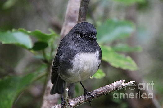 Stewart Island Robin Up Close by Marisa Meisters