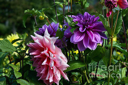 Sandra  Huston - Dahlias Still Blooming