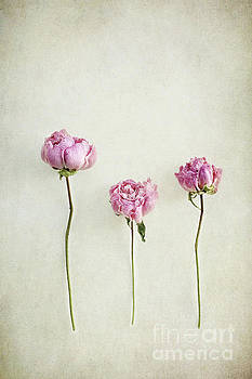 Still life of dried Peonies with texture overlay by Stephanie Frey