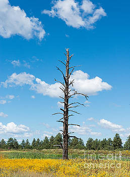 Still Standing Woodland Park Pinetop by Michael Moriarty
