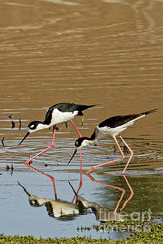 Stilt shorebirds by Natural Focal Point Photography