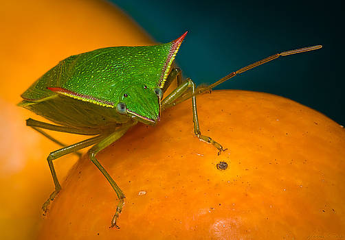 Stink Bug on Kumquats by Warren Sarle