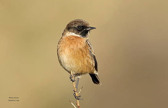 Stonechat  by Dean Eades