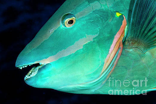 Stoplight parrotfish by George Cathcart