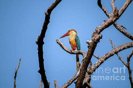 Stork-billed kingfisher by Venura Herath