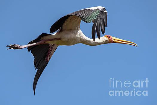Pravine Chester - Stork in Flight