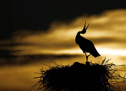 Stork in sunset by Dean Bertoncelj