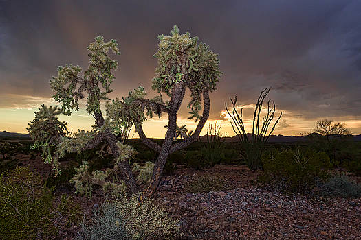 Storm Drenched Cholla by Ryan Seek