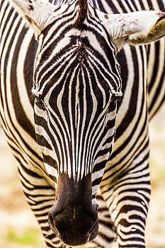 Straight on Zebra by Tito Santiago