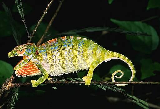 Strange Chameleon by Stephen OHara