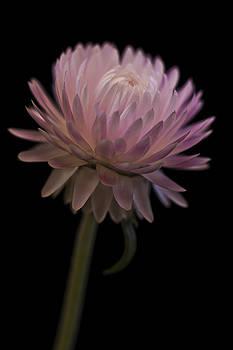 Sandra Foster - Straw Flower