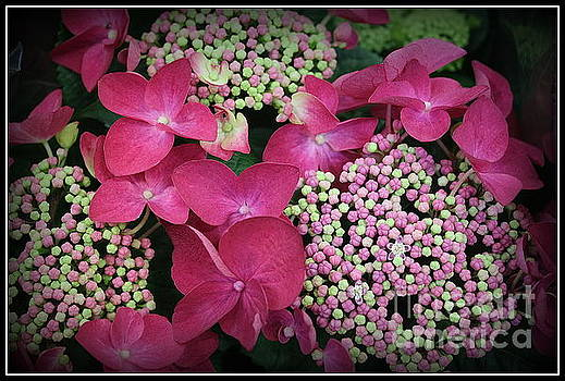 Strawberries and Cream Hydrangea by Dora Sofia Caputo Photographic Art and Design