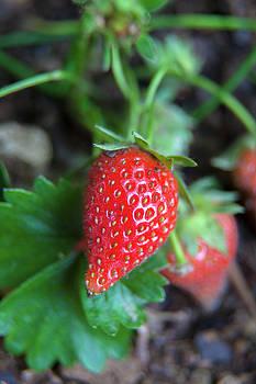 Strawberries Growing In Garden Vertical by Matjaz Preseren