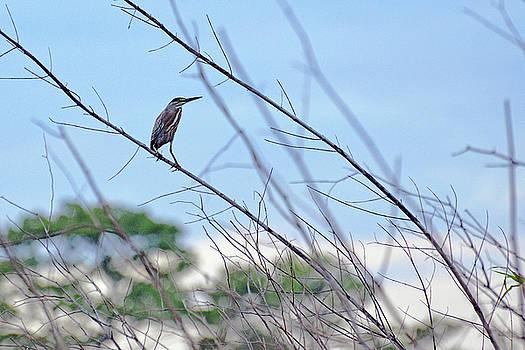 Harvey Barrison - Striated Heron along the Marayali