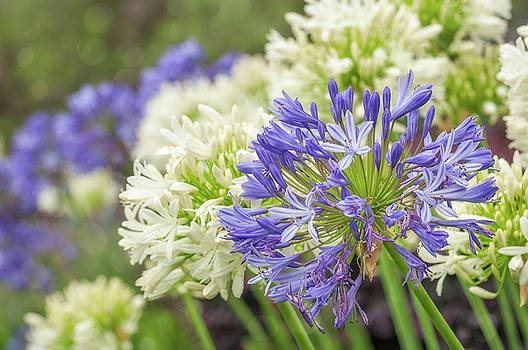 Striking Blue and White Agapanthus Flowers by Daniela Constantinescu