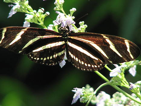 Striped Butterfly by April Camenisch