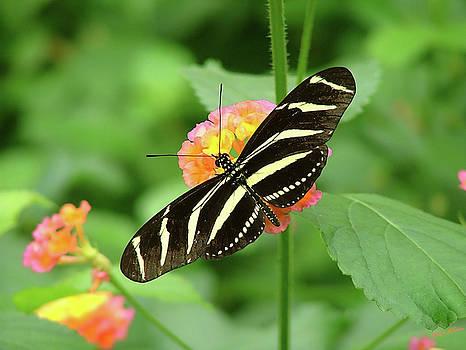 Striped Butterfly by Wendy McKennon