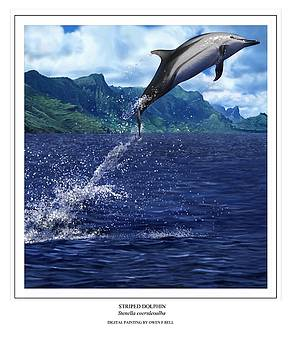Striped Dolphin by Owen Bell