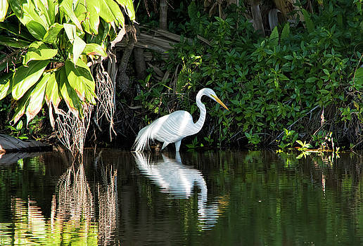 Striped Egret by William Tasker