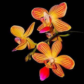 Colin Drysdale - Striped Orchid