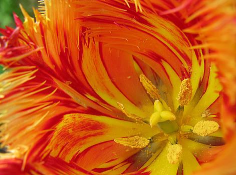 Striped Parrot Tulips. Olympic Flame by Ausra Huntington nee Paulauskaite
