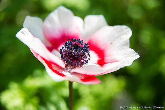Teresa Blanton - Striped Poppy