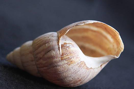 Stripped Seashell by Sheryl Chapman Photography