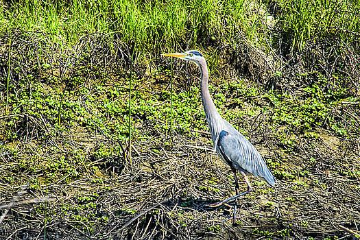 Strolling Great Blue Heron by Frank Wilson