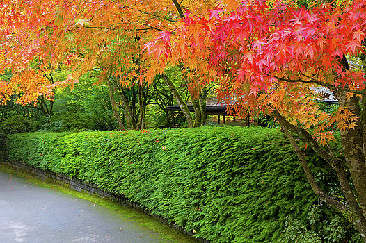 Strolling Path Lined with Japanese Maple Trees in Fall by David Gn