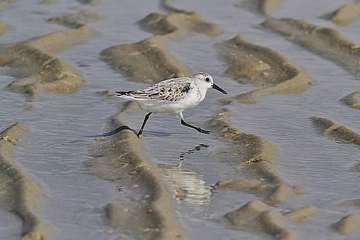 Strolling Sanderling by Linda Crockett