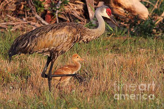 Strolling Sandhill Crane Family by Meg Rousher