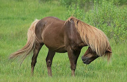 Wild Pony of Assateague by Carla Mason