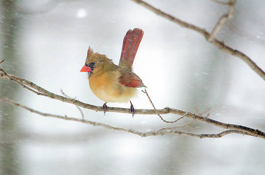 Strong Female Cardinal by Donna Doherty