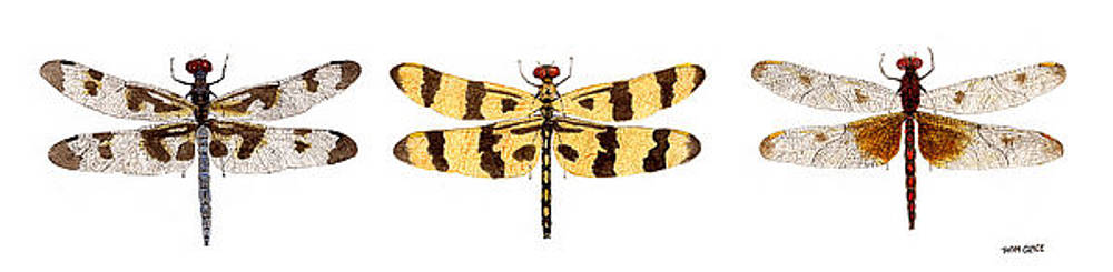 Study of a Banded Pennant a Halloween Pennant and a Calico Pennant  by Thom Glace