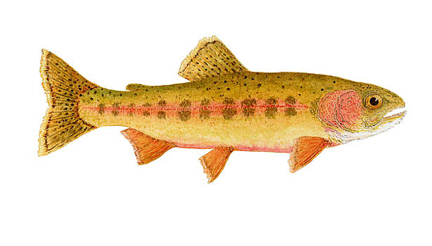 Study of a Golden Trout by Thom Glace