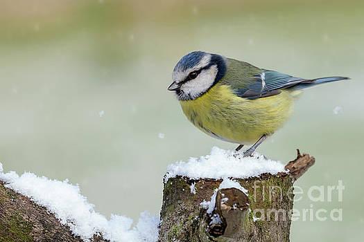 Simon Bratt Photography LRPS - Stunning blue tit wild bird in the snow