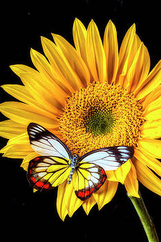Stunning Butterfly On Sunflower by Garry Gay