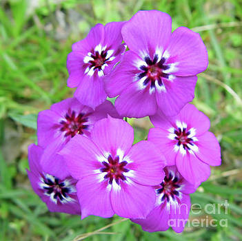Stunning Colors Of Phlox by D Hackett