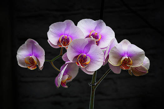 David French - Stunning Pink Orchids