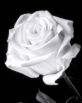 Stunning White Rose In Black And White by Garry Gay