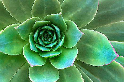 Succulent Closeup by Ram Vasudev