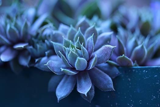 Succulent by Martha Boyle