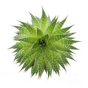 Succulent plant by Elena Elisseeva