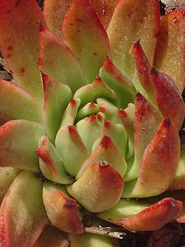 Succulent Rose by Sandy Fisher