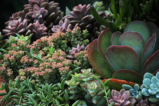 Rosanne Jordan - Succulent Variety